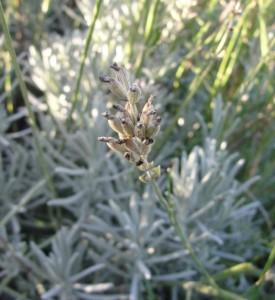 Lavende sauvage de Haute-Provence