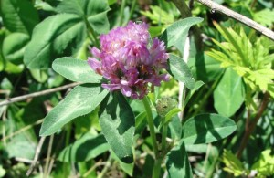 Trèfle (Trifolium pratense)
