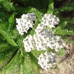 Achillée millefeuille (Achillea millefolium) - Hypertension