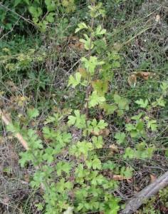 Aubépine (Crataegus monogyna)