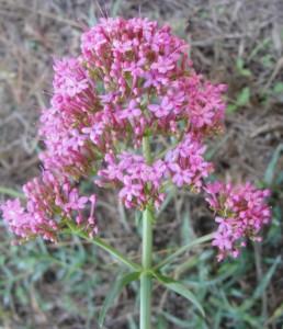 Lilas d'Espagne (Centranthus ruber)
