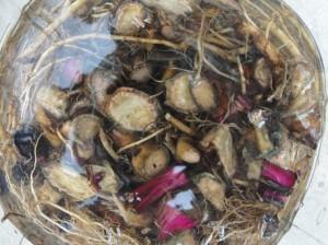 Echinacée (Echinacea purpurea)