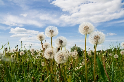 Pissenlit (Taraxacum officinale) - hypertension