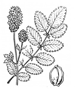 Pimprenelle (Sanguisorba officinalis)
