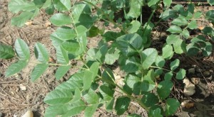 Réglisse : plante oestrogénique
