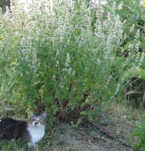Cataire (Nepeta cataria)