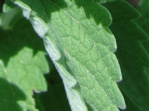 Cataire (Nepeta cataria)