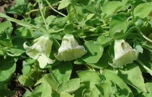 Plantes chinoises : codonopsis pilosula