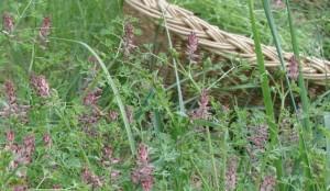 Fumeterre (Fumaria officinalis)