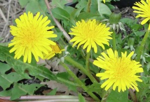Pissenlit (Taraxacum officinale)