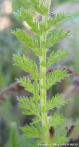 Achillée millefeuille (Achillea millefolium)