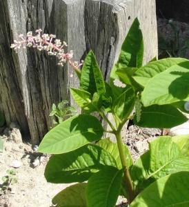 Phytolaque (Phytolacca americana)