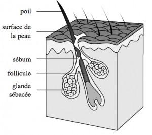 Acné : glande sébacée