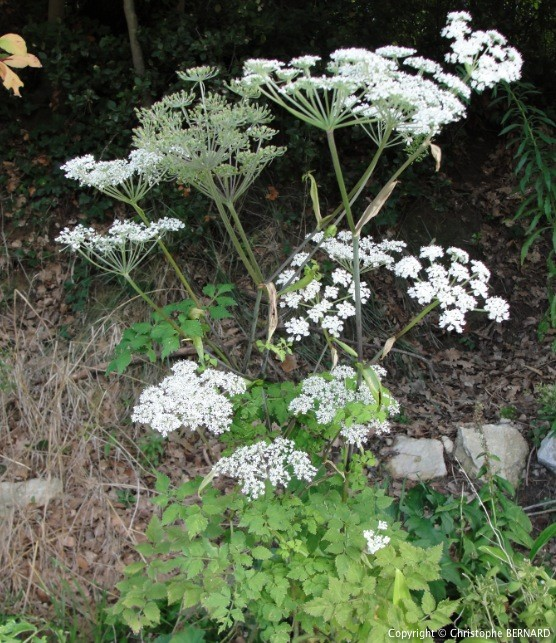 Angélique chinoise (Angelica sinensis)