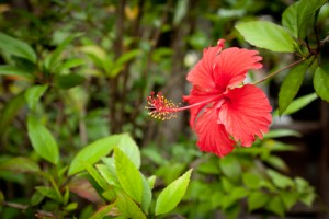 Infection urinaire : hibiscus