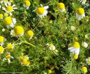 Matricaire (Matricaria recutita)