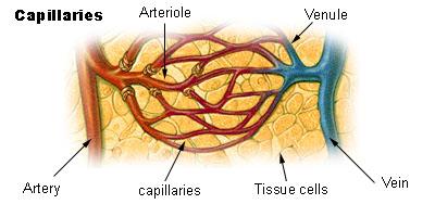 Insuffisance veineuse : capillaires