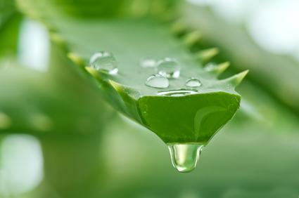 Energétique des plantes : refroidissante
