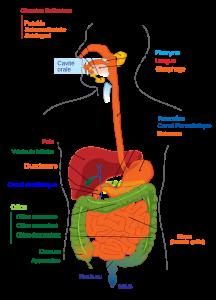 Nettoyer le foie : rôle central de l'organe