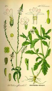Verveine officinale (Verbena officinalis)