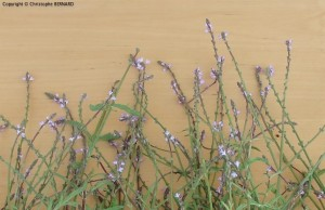 Verveine officinale (Verbena officinalis)