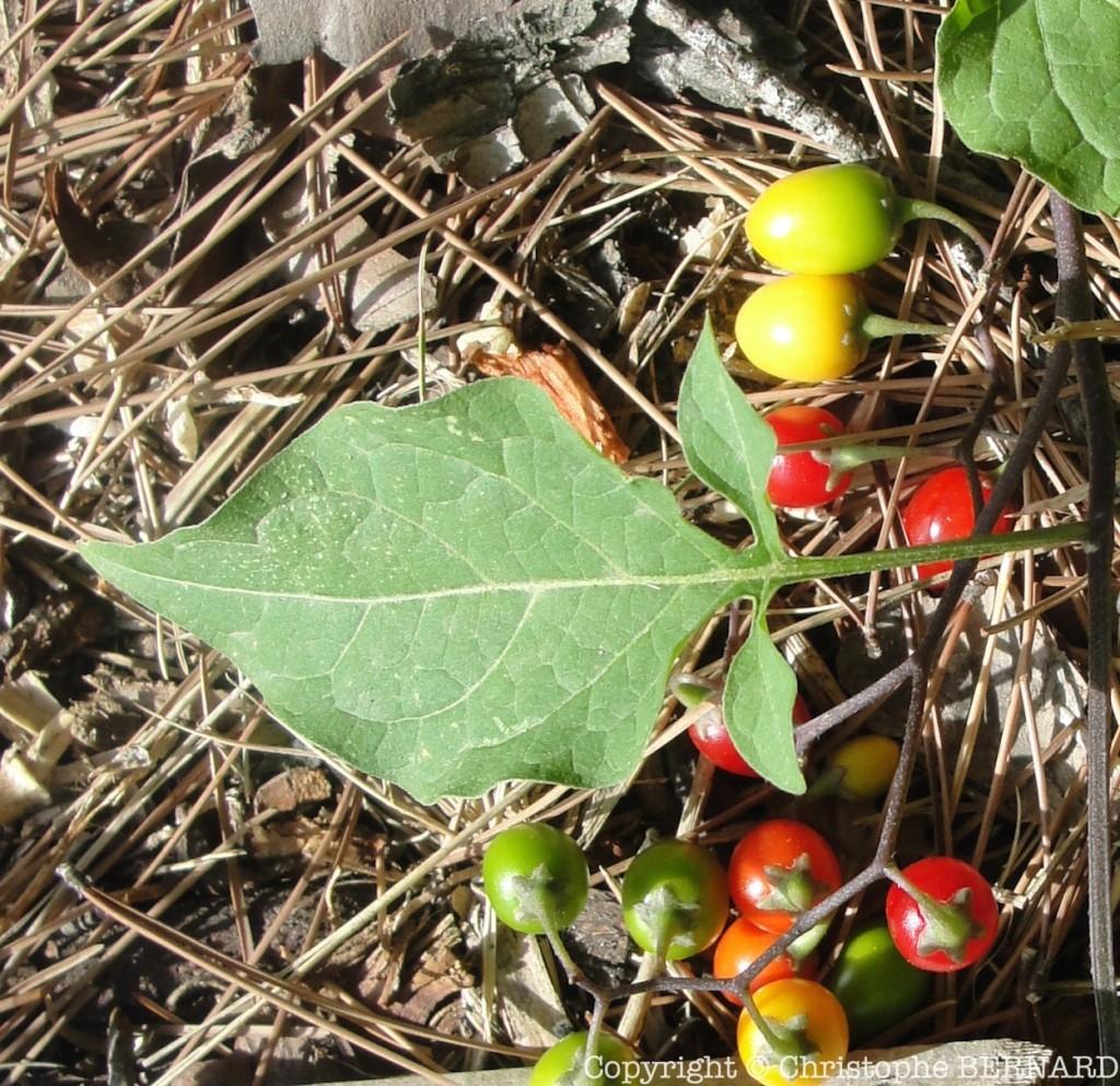 Douce amère (Solanum dulcamara)