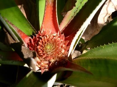 Bromeliacees - ananas