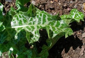 Chardon-marie (Silybum marianum)
