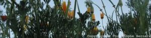 Escholtzia (Eschscholtzia californica)