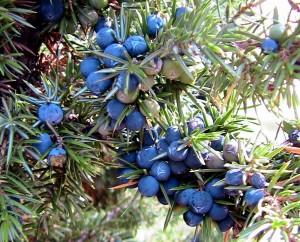 Genièvre : Juniperus communis