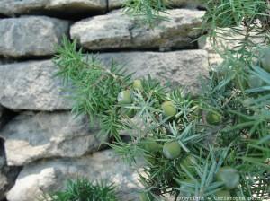 Genièvre : Juniperus oxycedrus