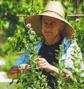 guimauve-plantes-et-sante
