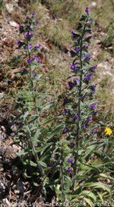 Vipérine (Echium vulgare)