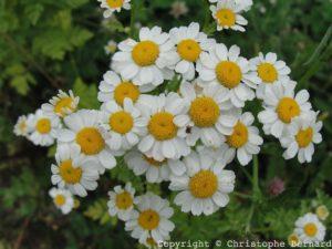 Partenelle ou grande camomille (Tanacetum parthenium)