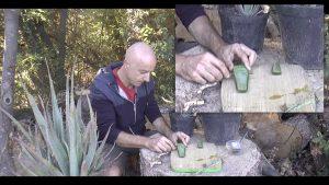 Extraction du gel d'aloe vera