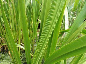 Acore odorant (Acorus calamus)