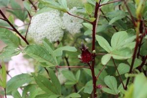 Karkadé (Hibiscus sabdariffa)