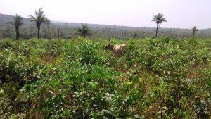 Kinkéliba (Combretum micranthum)