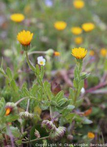 Calendula arvensis - souci des champs
