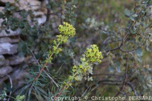 Euphorbes : Euphorbia characias