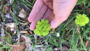 Euphorbes : Euphorbia helioscopia