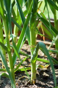 Ail (Allium sativum)