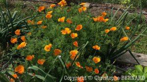 Pavot de Californie (Eschscholtzia californica)
