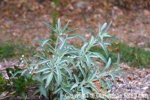 Sauge blanche (Salvia apiana)