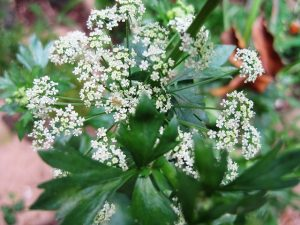 Fleurs céleri