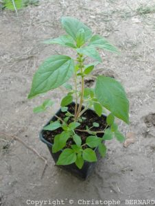 Pariétaire (Parietaria officinalis)