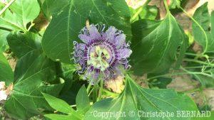 Passiflore (Passiflora incarnata)