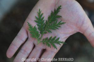 Artemisia annua - armoise annuelle