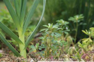 Fenugrec (Trigonella foenum-graecum)