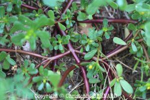 Pourpier (Portulaca oleracea)
